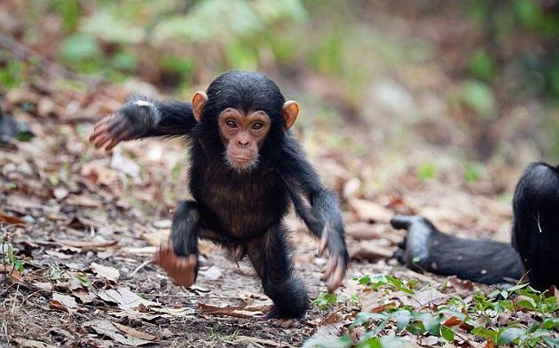 Baby Chimpanzee Going For A Walk