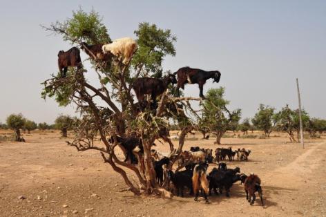 Goats Vegan