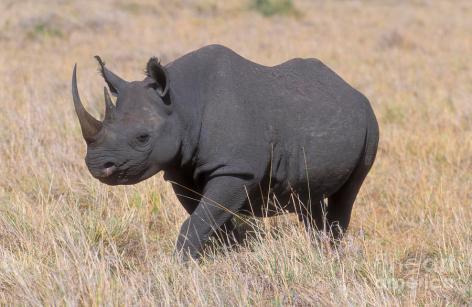 Black Rhino Vegan