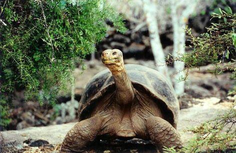 Giant Tortoise Vegan