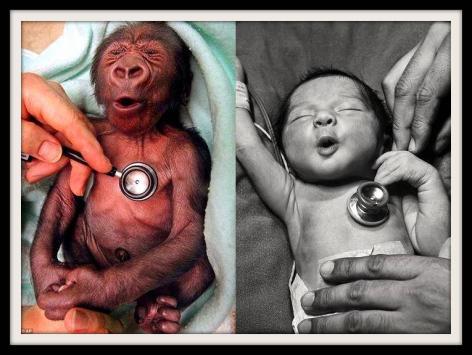 Baby Gorilla Baby Human Cold Stethoscopes