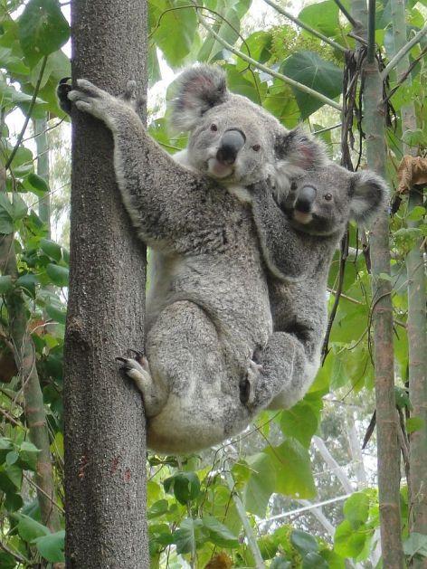 Koala Bears Vegan