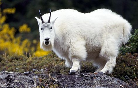Mountain Goat Vegan