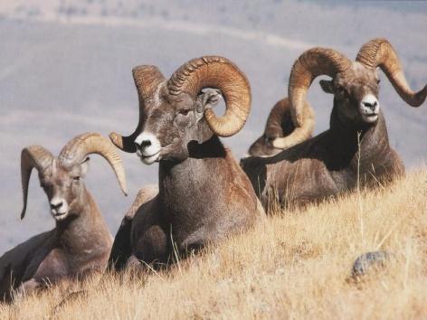 Bighorn Sheep Vegan