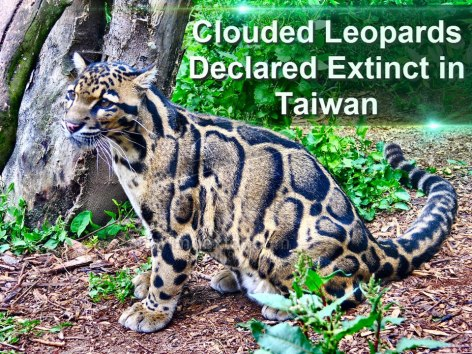 Clouded Leopards Declared Extinct In Taiwan