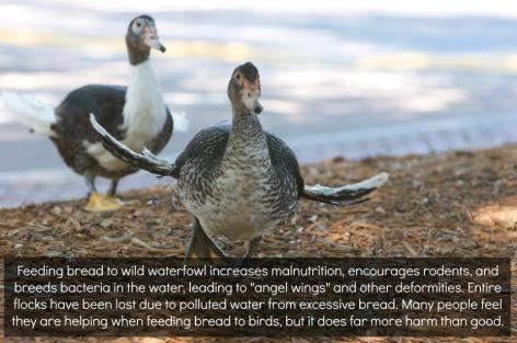 Feeding Bread To Wild Waterfowl