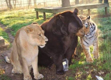 Lion Bear Tiger Oh My