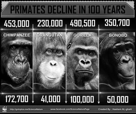 Primates Decline In 100 Years Chimpanzee Orangutan Gorilla Bonobo