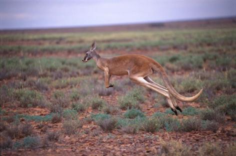 Kangaroo Vegan