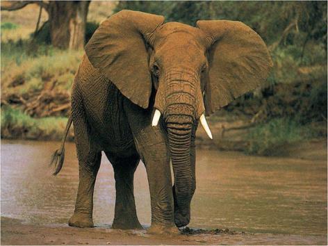 African Elephant Vegan