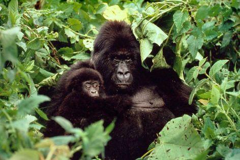Mountain gorilla (Gorilla beringei beringei); Rwanda