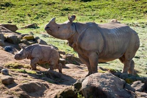 Asian One-Horned Rhinoceros Vegan