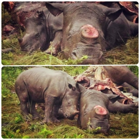Baby Rhinoceros With Dead Mother