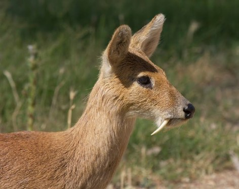 Musk Deer Vegan