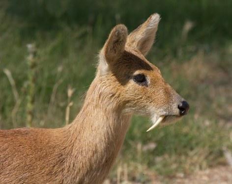 Musk Deer Vegan