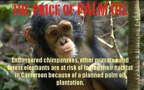 The Price Of Palm Oil Endangered Chimpanzees