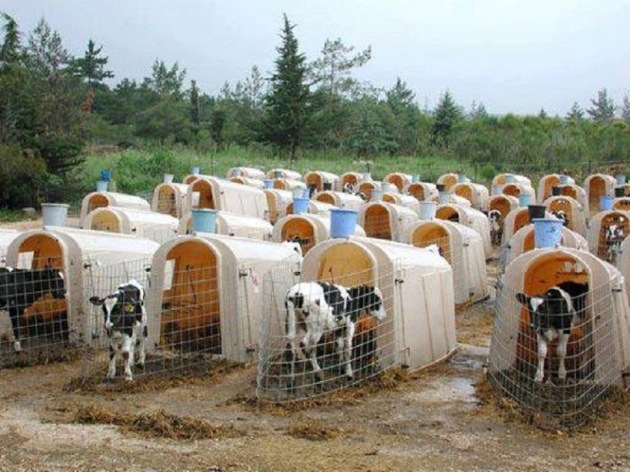 Veal Calves In Tiny Cages