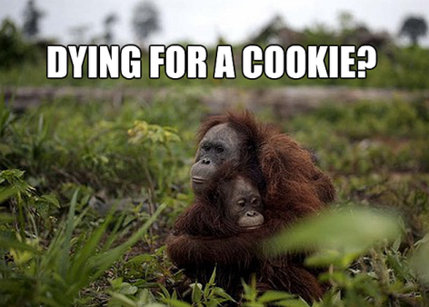 Dying For A Cookie Orangutan Mother And Child