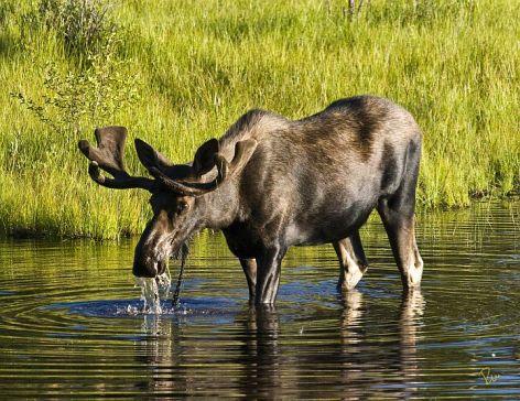 Moose Vegan