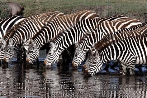 Plains zebra 60090.tif