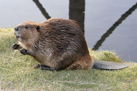 Beaver Vegan