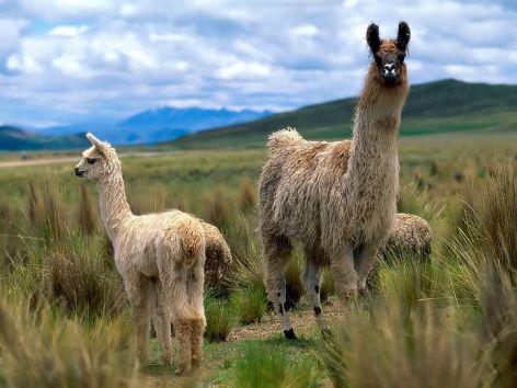 Llama Vegan