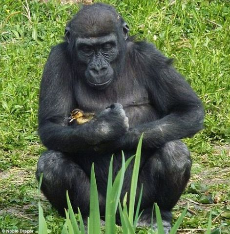 Be Kind Whenever Possible.  It Is Always Possible. Gorilla Duckling