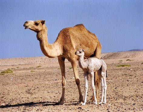 Camel Vegan