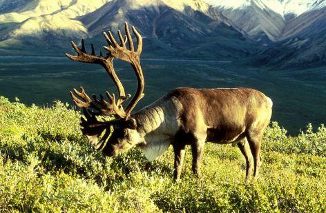 Caribou  Reindeer Vegan
