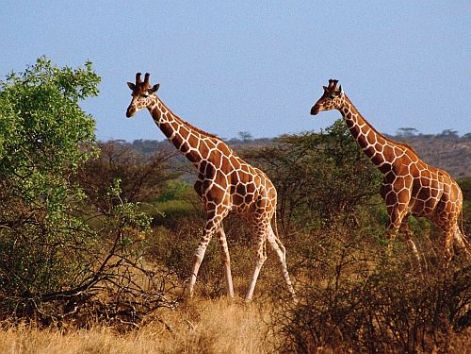 Giraffe Vagan
