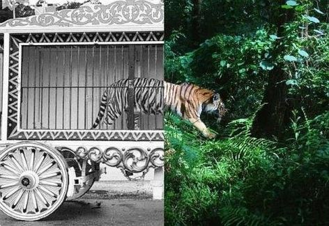 Tiger Circus Cage Free In The Jungle