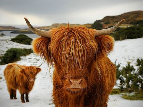 Highland Cattle Vegan