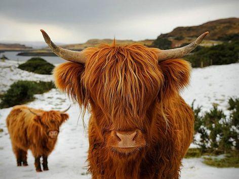 Highland Cattle Vegan