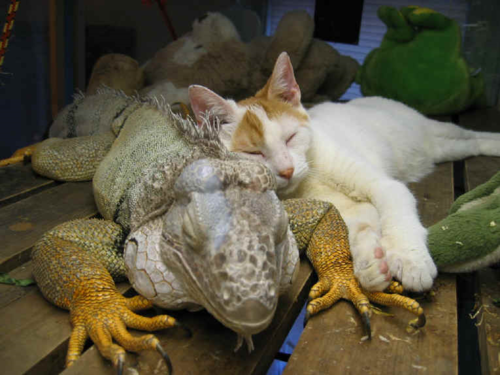 Iguana & Cat Be Kind Whenever Possible, It Is Always Possible