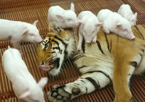 Tiger & Piglets Be Kind Whenever Possible, It Is Always Possible