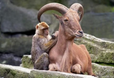 Monkey & Bighorn Sheep Be Kind Whenever Possible, It Is Always Possible